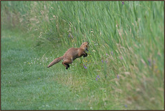 Fox Hunting (image 3 of 3) (Full Moon Images) Tags: woodwalton fen greatfen bcn wildlife trust nnr national nature reserve cambridgeshire animal mammal red fox hunting jump jumping leap leaping