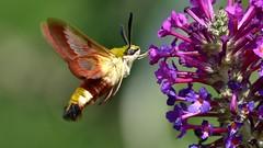 DSC_4381 Sphinx gazé butinant des fleurs de Buddleia (sylvette.T) Tags: papillon butterfly 2019 sphinxgazé hemarisfuciformis sphinxduchèvrefeuille buddleia coth5 ngc