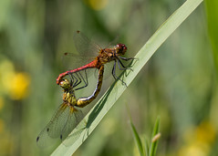 Ruddy darter pair (Mibby23) Tags: ruddy darter sympetrum sanguineum dragonfly wildlife nature insect rspb otmoor canon 5dmk4 100mm