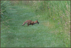Fox Hunting (image 1 of 3) (Full Moon Images) Tags: woodwalton fen greatfen bcn wildlife trust nnr national nature reserve cambridgeshire animal mammal red fox hunting jump jumping leap leaping