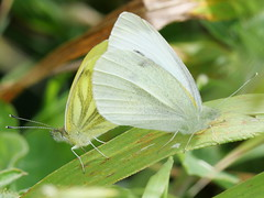 Appears to be male Small White and female Green Veined White (Nevrimski) Tags: small green veined white