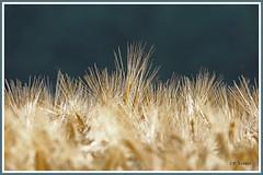Céréales 190706-02-P (paul.vetter) Tags: nature champ céréales