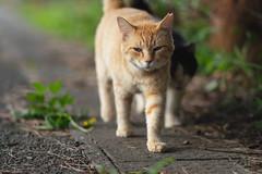 猫 (fumi*23) Tags: ilce7rm3 a7r3 animal dof fe85mmf18 apsccrop 85mm sel85f18 sony bokeh cat chat gato neko emount ねこ 猫 ソニー