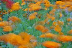Dancing marigolds (theoldsmithy) Tags: garden flower summer appicoftheweek colour
