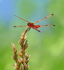 Holding The Flight Pattern (Eat With Your Eyez) Tags: male calico pennant dragonfly dragonflies red markings wing wings fly flying flight perch perched weed plant bokeh plants nature outdoors park canton ohio stark county devonshire odonata odonate bug insect animal beautiful pretty