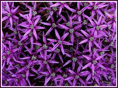 Fleur de fleurs 190707-01-P (paul.vetter) Tags: fleur ail