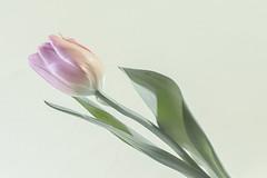 Pink Tulip (pasquale di marzo) Tags: flower fiore tulipano interno colore macro