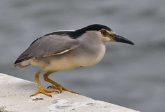 Bihoreau gris - Nycticorax nycticorax - Black-crowned night heron (pablo 2011) Tags: collectionnerlevivantautrement nikond500 nikkor200500mm patrickblondel toulouse nature garonne lebazacle espacebazacle wildlife viesauvage animal oiseau bird ardéidés ardeidae bihoreaugris nycticoraxnycticorax blackcrownednightheron occitanie france faune fauna