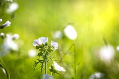 White Pearl wildflower (mpakarlsson) Tags: white pearl wildflower nature flower colors backlight blågull vit sweden sverige polemonium caeruleum jacobs ladder bokeh canon canon70200 canon70200f28lll llens 5dmarkiii 5dmark3 5diii 5dm3 green grass field