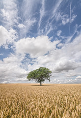 Summer solitude (grbush) Tags: tree nature lonetree lonelytree minimalism landscape agriculture field farm farming wheat lonely alone solitude clouds bluesky bedfordshire sonyilce7 tokinaatx116prodxaf1116mmf28 england