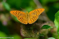 Argynnis paphia (Make human well-being your hobby) Tags: insekten kaisermantelargynnispaphia natur schmetterlinge mücke hessen deutschland