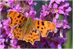 Comma Butterfly. (Fen Photos) Tags: woodwaltonfen greatfen greatfenproject wildlifetrust bcnwildlifetrust nnr cambridgeshire comma butterfly commabutterfly