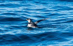 Peruvian Diving-Petrel (Pelecanoides garnotii) (Kremlken) Tags: pelecanoidesgarnotii pelagic humboldtcurrent southamerica chilean ocean pacific seabirds birds bird birding birdwatching nikon500 nature yunco