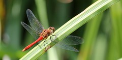 Blutrote Heidelibelle (♥ ♥ ♥ flickrsprotte♥ ♥ ♥) Tags: blutroteheidelibelle kiel salzwiesen libelle natur see wasser