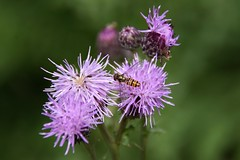 Hover Fly (Nige H (Thanks for 20m views)) Tags: nature macro closeup detail flower plant insect hoverfly