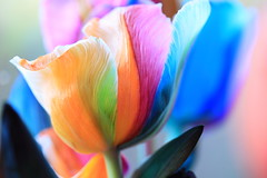 veins (°andre²a°) Tags: canon canoneosr 60mm flower tulip color colors colorful orange pink blue green