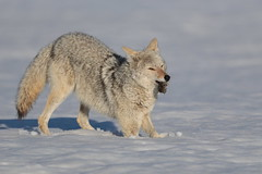 The feast goes on (Hammerchewer) Tags: coyote animal male wildlife outdoor snow mousing