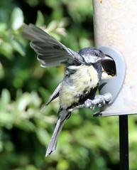 Great Tit (Parus major) (iainrmacaulay) Tags: bird provence france great tit parus major