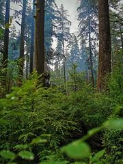 Smokey forest. (thnewblack) Tags: huaweip30pro leicaoptics smartphone cameraphone outdoors nature britishcolumbia vsco rolleylake wilderness inexplore