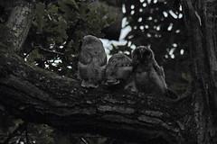 Long-eared Owl (Asio otus) chicks (Brian Carruthers-Dublin-Eire) Tags: park bird nature phoenix animal nocturnal outdoor wildlife aves chick owl prey chico cait juvenile animalia avian búho longearedowl phoenixpark birdwatch longeared asio otus strigiformes hibou ceann gufo comune strigidae moyenduc ransuil asiootus waldohreule of búhochico hiboumoyenduc gufocomune birdwatchireland nocturnalhunter birdwatchfb ceanncait wood ireland dublin tree pinetree woodland pines creature birdwatching bop pinewood eíre