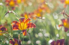 Da Lily Suite (Paul B0udreau) Tags: nikkor50mm18 photoshop canada ontario paulboudreauphotography niagara d5100 nikon nikond5100 raw layer daylily flower bokeh thorold summer orange