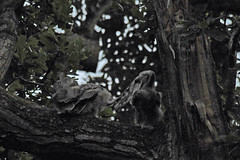 Long-eared Owl (Asio otus) chicks (Brian Carruthers-Dublin-Eire) Tags: asio otus asiootus longeared owl chick juvenile longearedowl strigiformes strigidae hibou moyenduc waldohreule búho chico gufo comune ransuil ceann cait hiboumoyenduc búhochico gufocomune ceanncait bird of prey birdwatchfb birdwatchireland birdwatch nocturnal nocturnalhunter animalia animal aves avian nature wildlife outdoor phoenix park phoenixpark dublin ireland eíre tree wood pines pinetree pinewood woodland bop birdwatching creature