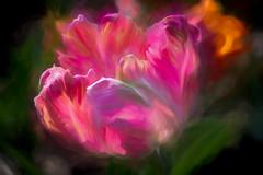 Garden as the Artist's Canvas (Pejasar) Tags: flower tulip blossom bloom art artistic digitalcreations painterly gavinwoodlandgardens hotsprings arkansas
