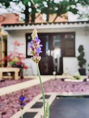 91/365 Lavender... (Gingernutty Photography) Tags: garden sanctuary gardentherapy calming plant purple flower lavender