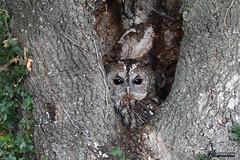 Chouette Hulotte (Daniel SALTZMANN) Tags: chouette hulotte daniel saltzmann teddy bracard marc hen claude stenger vincent munier wild wildlife bird birdofprey forest oiseaux oiseau alsace vosges namur montier owl