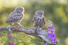 Little Owl (Athene noctua) (phil winter) Tags: littleowl athenenoctua adult fledgling mouse foxgloves