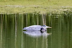 Grey heron. (dave harrison143) Tags: grebes