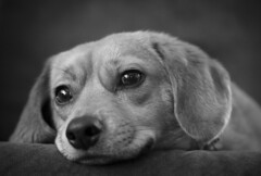 Freya Rose (Southern Darlin') Tags: dog pet puppy animal blackandwhite bw bnw portrait