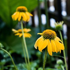 Echinacea (piri198) Tags: fujifilm fuji fujinon xt2 xf1855mmf284rlmois xf1855mmf284 lightroom echinacea sonnenhut blume flower yellow gelb sommer summer garden garten