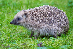 Hedgehog - Finland (Sami Niemeläinen (instagram: santtujns)) Tags: siili hedgehog hedgehodge eläin animal luonto nature joensuu suomi finland