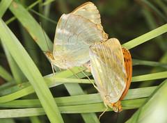 Mating Silver-washed Fritillaries (Prank F) Tags: naturalengland monkswood nnr sawtry cambsuk wildlife nature insect macro closeup butterfly fritillary silverwashed mating