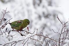 Enicognathus ferrugineus (Austral Parakeet) (Grajilla) Tags: enicognathus ferrugineus austral parakeet patagonia coyhaique