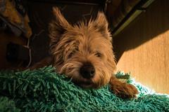 Walkies? Me? No, it´s too warm! (Wulf Dieter Vogl) Tags: carlo terrier australianterrier dog hund alt old