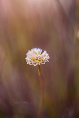 Armeria maritima (CecilieSonstebyPhotography) Tags: bokeh june flowers closeup flower ef100mmf28lmacroisusm canon macro armeria maritima thrift sea pink strandnellik