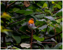 Robin (Nicky Thomas Photography) Tags: sherwood forest woodland robin bird wildlife wild animal nature flickrbest nikon d750 fx planet england nottingham united kingdom great britain