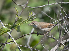 Juvenile Whitethroat (Osgoldcross Photography) Tags: bird whitethroat juvenilewhitethroat feathers lbj brown white wings feeding spider bush thorns dunes rspb rspbminsmere suffolk coast costal migrant migrantvisitor summer minsmere