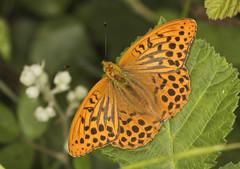 Butterfly - Silver-washed Fritillaryary (Prank F) Tags: naturalengland monkswood nnr sawtry cambsuk wildlife nature insect macro closeup butterfly fritillary silverwashed