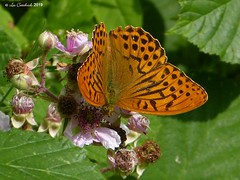 Silver-washed fritillary (LPJC (away for August)) Tags: cotgraveforest nottinghamshire butterfly uk 2019 lpjc