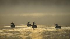 DSC06815 (fotolasse) Tags: soluppgång djur animal natur nature sweden tingsryd canon sony