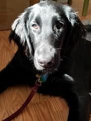 Charlie in the sun (Abby flat-coat) Tags: charlie flatcoat retriever black s8 20190714chsun835