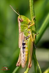 Grasshopper (Klaus Eisner) Tags: nature natur naturepics naturephotograph naturephotgraphy naturephotography naturephoto naturfotografie insect insects insekt insekten macro makro grasshopper