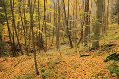 Blanket of yellow (DavetheHiker) Tags: ohio beavercreekstatepark hiking nature trail northcountrytrail nct fall autumn color foliage trees forest