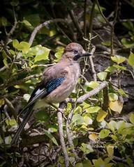 A lovely Juvenile Jay. (Albatross Imagery) Tags: juvenilejay beautifuljuvenile titchfieldhavennaturereserve hampshirewildlife hampshire ukwildlife uk springwatch rspb d500 nikond500 nikkor nikonwildlife nikonphotography nikon flickrphotography flickrwildlife flickr instagram photographer photo photography naturephotographer naturephotography naturereserve nature wildlifephotography wildlifephotographer wildlife birding bird birds jay
