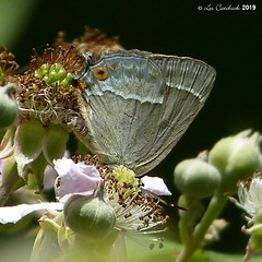 Purple hairstreak (LPJC (away for August)) Tags: purplehairstreak hairstreak fermynwoods northamptonshire butterfly uk 2019 lpjc