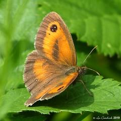 Gatekeeper - male (LPJC (away for August)) Tags: cotgraveforest nottinghamshire butterfly uk 2019 lpjc gatekeeper