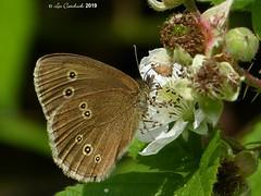 Ringlet (LPJC (away for August)) Tags: cotgraveforest nottinghamshire butterfly uk 2019 lpjc ringlet